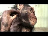Baby Chimp, Chimpanzee Parenting - Primates In the City, #08, 침팬지의 육아