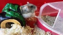Un hamster entre à reculons dans sa maison