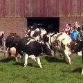 La réaction incroyable de ces vaches qui voient le ciel pour la 1ère fois depuis 6 mois!