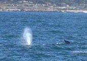 Whale Watching Tour Encounter Migrating Gray Whales in Monterey Bay