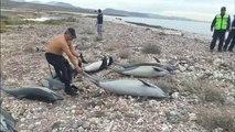 Des dauphins tués par d'autres dauphins - 15/02/2018
