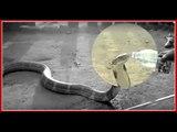 King Cobra Snake drink water from Bottle in Karnataka