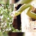 Un pic vert tente de manger un énorme serpent... Courageux l'oiseau