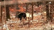 L'arrivée de louves dans l'enclos de loups fait craindre le pire à une soigneuse dans un zoo - Regardez