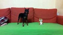 Quand une peluche rend fou un chien... Tellement drole