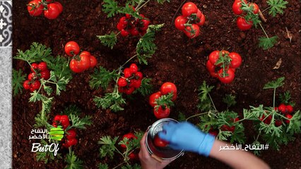 ما هي ميزة الطماطم؟