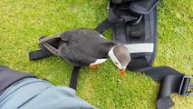 Friendly Puffin Approaches Photographer || ViralHog