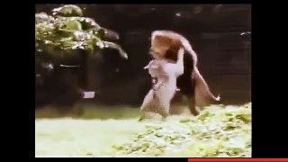 اسد يلعب مع نمر Lion plays with a tiger