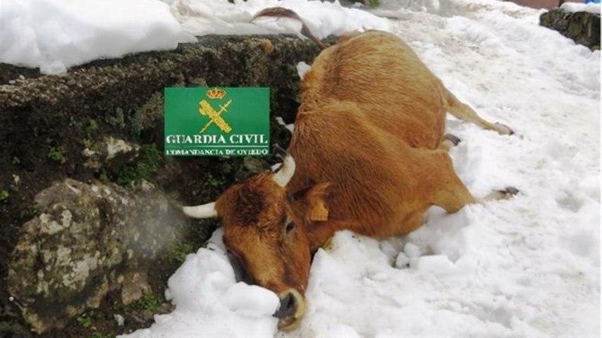 La Guardia Civil investiga a un vecino por dejar morir de hambre a 5 vacas en Teverga, Asturias