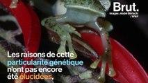 La peau des grenouilles de verre est si transparente qu'elle laisse apparaître leurs organes