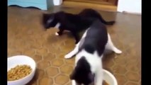 Funny Cat Fails Try not to Laugh 2016 Best Funny Cats videos compilation try not to laugh 2016. - YouTube