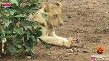 Namibie : Une lionne s'occupe d'un bébé antilope, les images surprenantes (Vidéo)