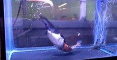 Ne laissez jamais un poisson chat avec un poisson rouge dans votre aquarium...