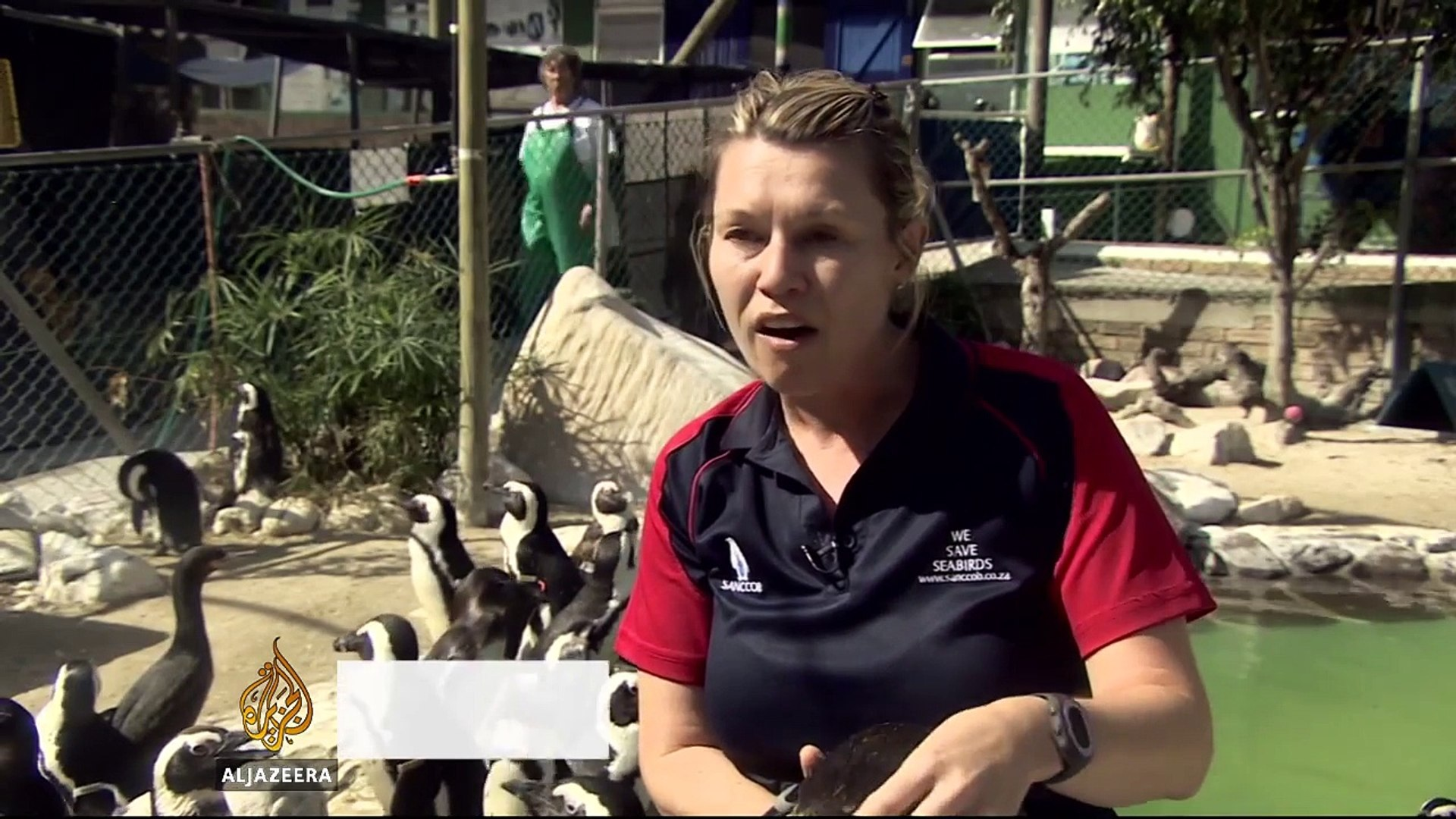 South African conservationists saving African penguins