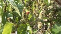 Dut Ağaçları Şubat Ayında Meyve Verdi