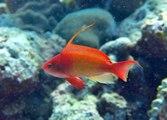 Poisson Mandarin Un Des Plus Beaux De L Aquarium Video