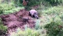 Une vidéo qui brise le coeur: Un bébé rhinocéros tente de réveiller sa maman qui vient d'être abattue par des braconnier