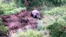 Une vidéo qui brise le coeur : Un bébé rhinocéros tente de réveiller sa maman qui vient d'être abattue par des braconnie