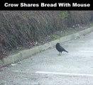 Ce corbeau partage son pain avec une souris... Magnifique moment