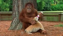 Cet Orang-Outan donne le biberon aux bébés tigres. Trop mignon