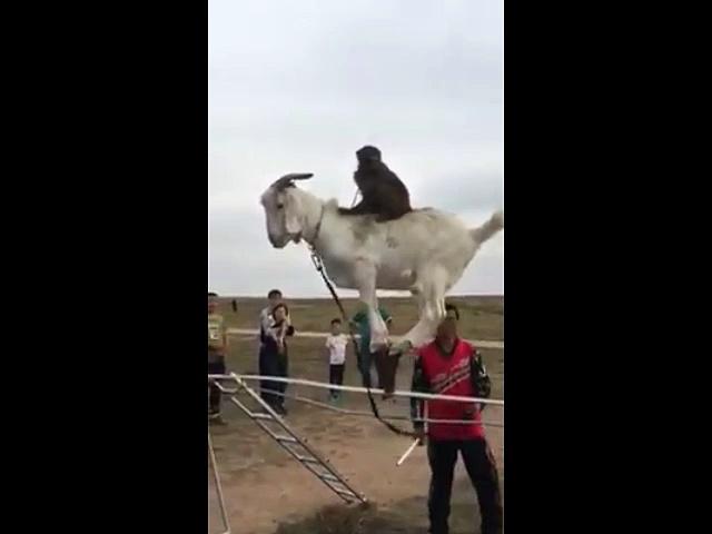 Amazing Goats