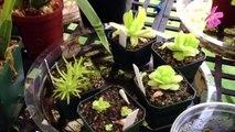 Carnivorous Plant Update: King sundew seedlings, Cobra lily bloom spike & feeding new Venus Fly trap