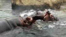 Fiona showing Mom how tough she is!! - Cincinnati Zoo & Botanical Garden