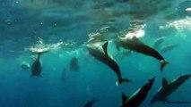 Dolphins (Mauritius)