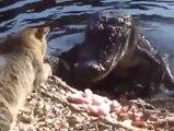 Ce chat met une correction à un énorme crocodile... Tu es sur de toi là??