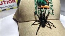 Cette araignée peut vous tuer en 15min - araignée Colossus