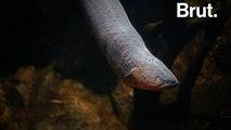 L'anguille électrique, ce monstre d'eau douce