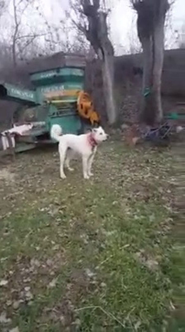 ADAMCI ve KIZGIN AKBAS COBAN KOPEGi - ANGRY AKBASH SHEPHERD DOG