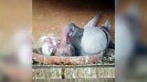 Baby fancy pigeons cages & breeding fancy pigeobs ( birds )