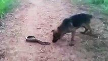 Un chien qui mord une anguille électrique