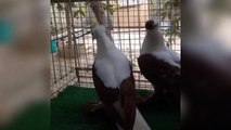 supe fancy pigeons breeding cages & breeding pigeons day ivity (birds viideis)