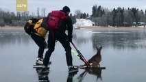 A poor deer helped from frozen lake by skaters