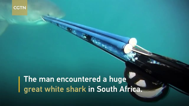 Terrifying encounter with great white shark in South Africa