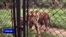 Ticket cheats' near miss with tigers at Chinese zoo