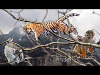 Tiger Climb On The Tree to hunt Monkeys