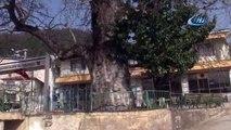 700 yıllık çınar kurumaya başladı