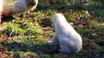 Polar bear cub makes first public outing at Mulhouse zoo