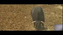 El Toro agresivo - Toros para todos-UN TORO MUY PECULIAR