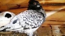 Best breeding fancy pigeons wood cages & breeding pigeons ( birds videos)