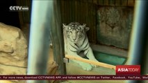 Rare India white tiger cubs born at Czech zoo