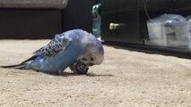 R2-D2 amuse ce perroquet avec ses bruitages !
