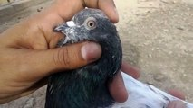 How to check pigeons quality and specifications - FEROZPURI PIGEONS, TEDDY PIGEONS