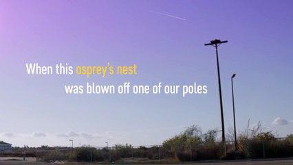 Huntington Beach Ospreys Get a Home Improvement   Edison International