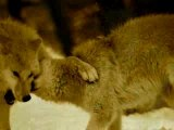 Loups et loups blancs