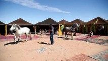 Des étalons dans les dunes: défi équestre dans le désert