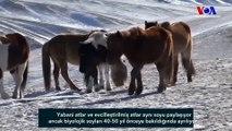 Dünyanın Son Gerçek Yabani Atları Moğolistan'da Doğal Ortamına Geri Döndü